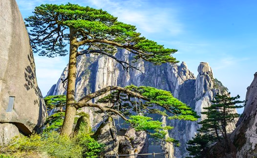 The most famous tree in China